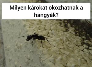 Miért védekkezünk a hangyák ellen