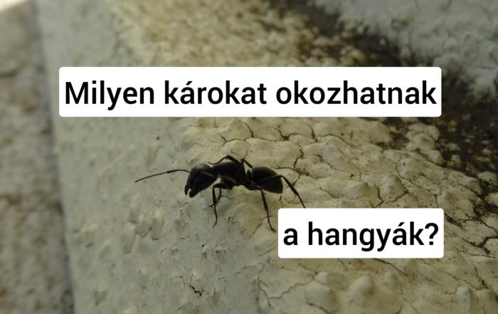 hangya
