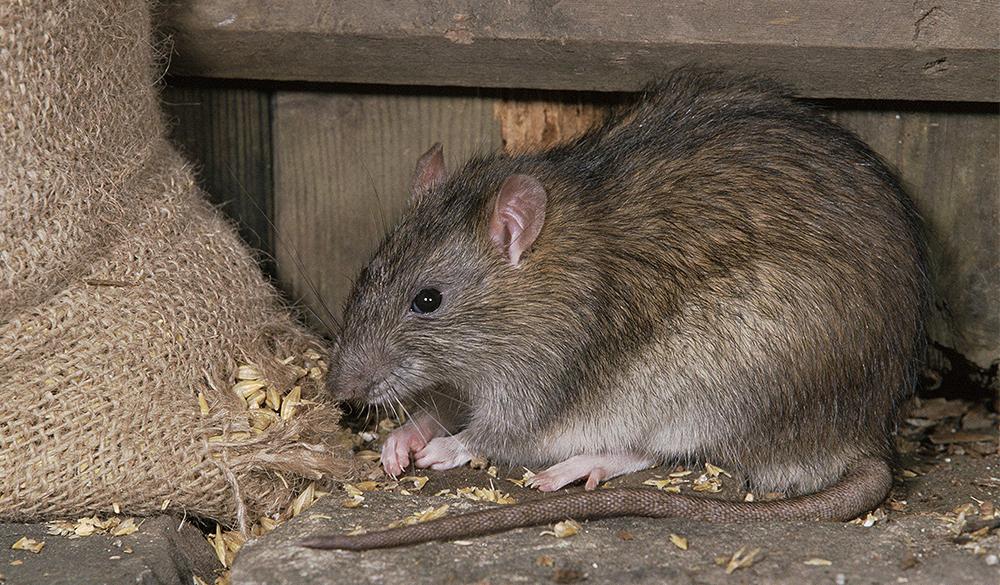 Házi patkány